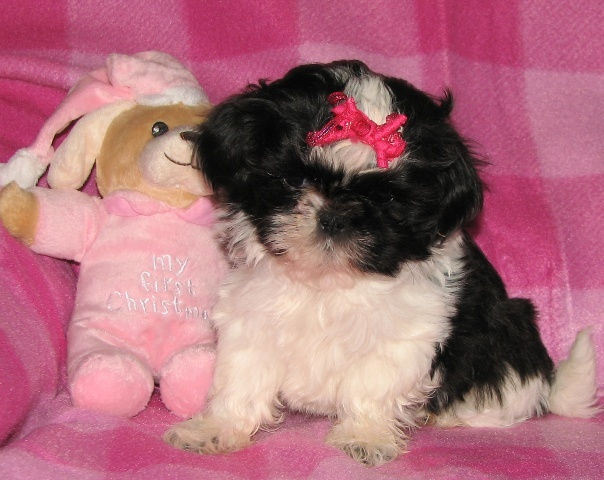 Shih Tzu Litters Barnes Puppy Love Kennels
